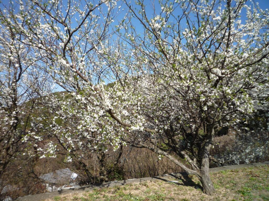 山頂付近の公園で、桜かなと思ったら