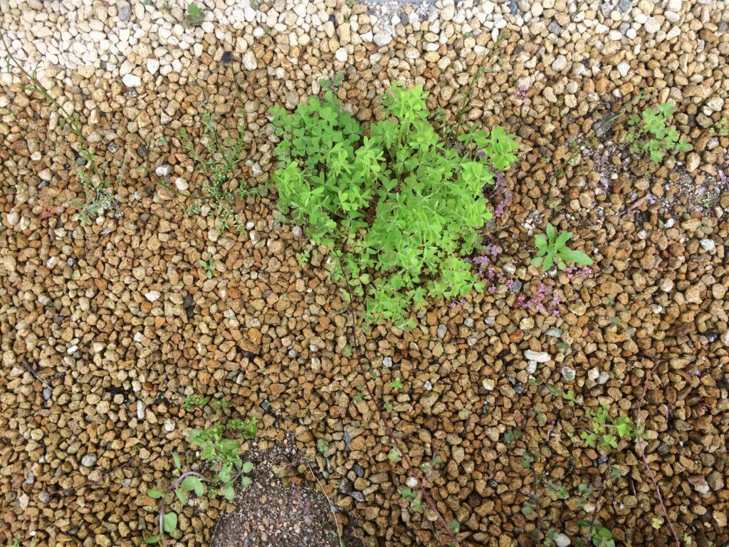 砂利の隙間から現れた雑草は抜きやすい