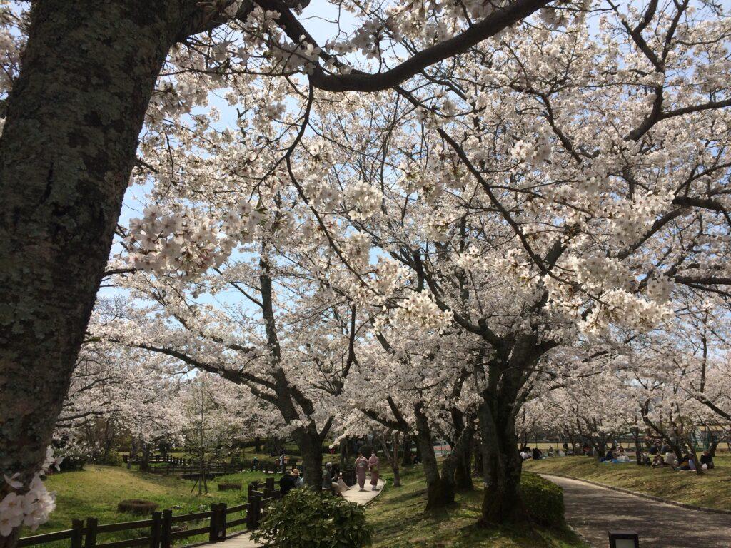 3月27日午前 維新公園の桜