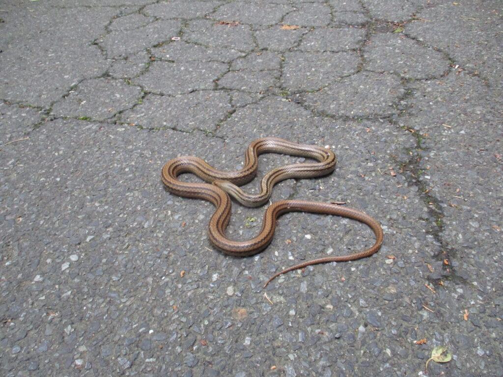 シマヘビ君の日光浴