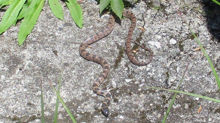 氷室岳山頂で幻の蛇「シロマダラ」を発見